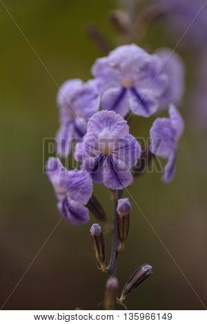 Geisha Girl, Duranta erecta, purple flower on a tree in summer
