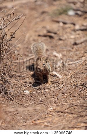 A young squirrel Otospermophilus beecheyi creeps along the ground in a marsh in Southern California, United States in summer