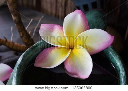 Romantic Tropical Fragrant Flower Frangipani Or Plumeria