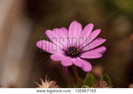 Purple African daisy, Osteospermum Ecklonis, blooms in a botanical garden in summer on a background of green leaves