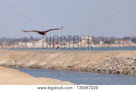 Turkey Vulture in flight (Catharte aura) in Huntington Beach, Southern California
