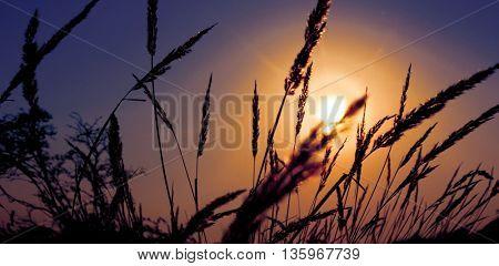 Spikelets grass on sunset