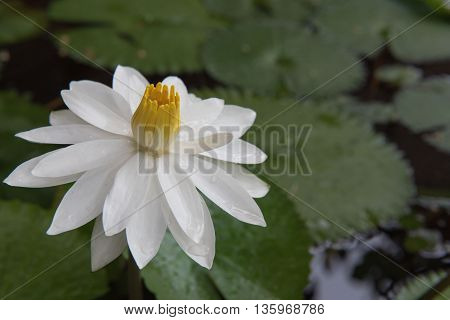 The beautiful white lotus in a pond. close-up  , background