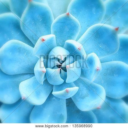 Nature background of succulent echeveria rosettes