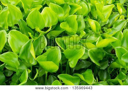 Aquatic plant hyacinth green leaves, Close up.