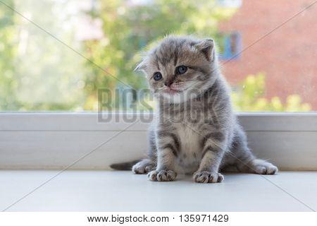 Beautiful little tabby kitten on a window sill. Scottish Fold breed.
