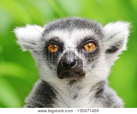 Portrait of a ring-tailed lemur (Lemur catta)