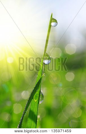 Fresh green grass with dew drops closeup. Soft focus. Nature Background