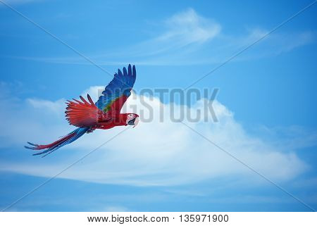 Beautiful blue and red macaw flies across cloudy sky