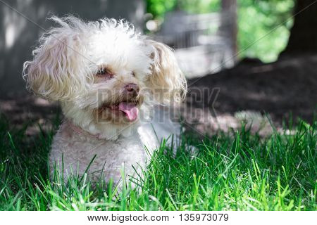 Picture of my dog zoe, a maltese poodle, in the lawn at the lake.