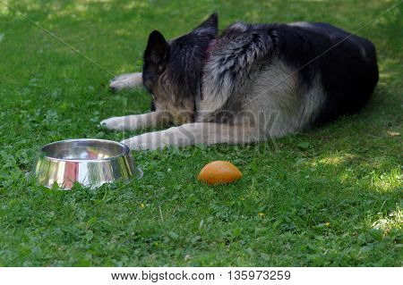 Tired or sick shepherd dog sleeping in a garden next to his toys and animal bowl, outdoor horizontal shot
