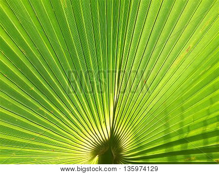 texture of Palm leaves and nature abstract background