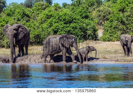 Family of elephants with calves came to drink. Botswana Chobe National Park, the river Zambezi