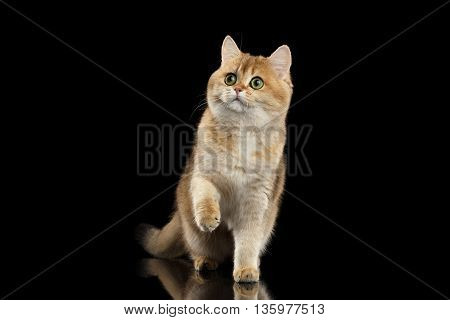 Playful British Cat Gold Chinchilla color with Green eyes Standing and Raising Paw, Isolated Black Background, Front view