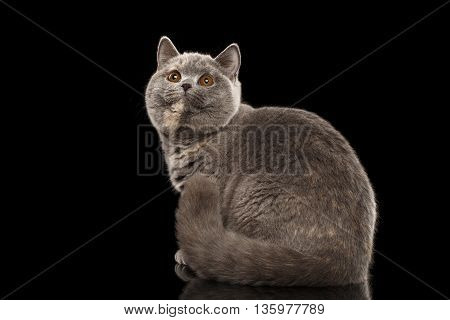 Furry Gray British Cat Sitting and Cute Looking up, Isolated Black Background, Back view