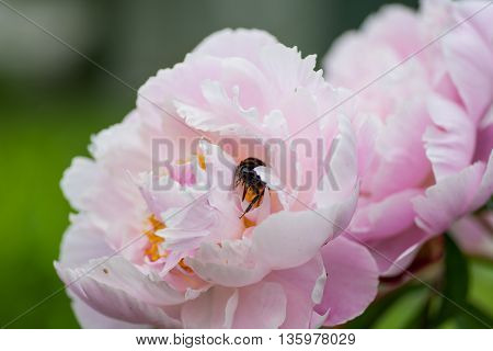 Big fuzzy bumblebee collecting nectar from a peony blossom