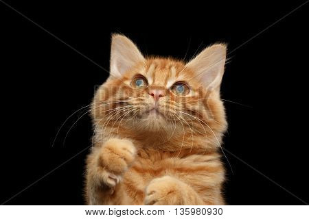 Closeup Portrait of Ginger Kurilian Bobtail Cat Curious Looking up and Raising Paws on Isolated Black Background, Front view