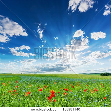 Poppy field, summer countryside landscape with blue sunny sky. Vivid morning light.