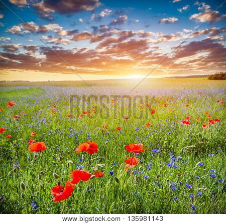 Poppy field, summer countryside landscape at sunset. Romantic sky.