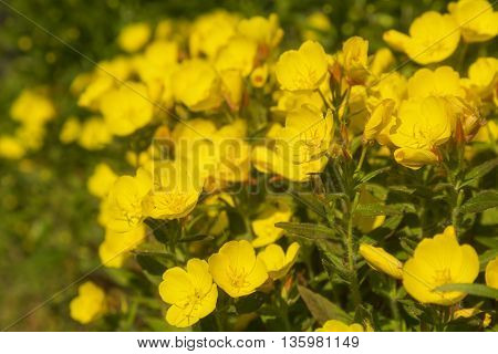 Beautiful yellow wildflowers in summer day close-up