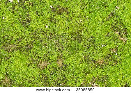 Closeup Green moss bakground. nature background. Green moss