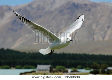 Seagull With Spread Open Wings in The Air