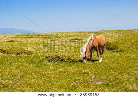 Brown horse with white mane eating grass at summer meadow