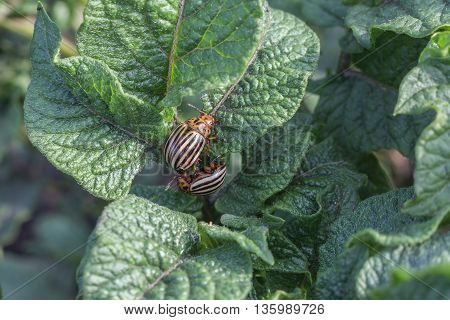 Two Colorado potato beetle on potato leaves