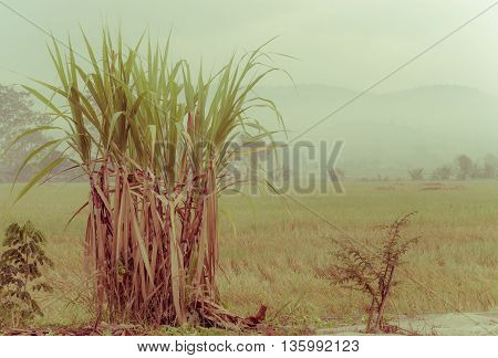 sugarcane plantation in the background of countryside with copyspace. retro vintage filtered style.