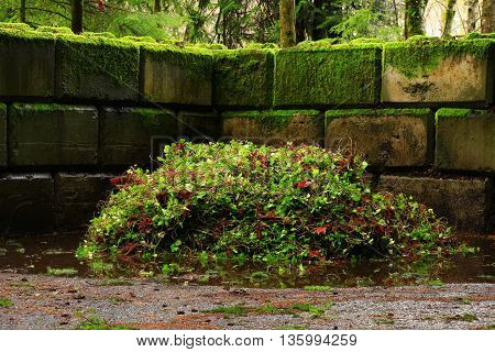 a picture of an exterior Pacific Northwest pile of invasive ivy vines