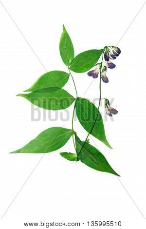 Pressed and dried bush lathyrus vernus. Isolated on white background. For use in scrapbooking pressed floristry (oshibana) or herbarium.
