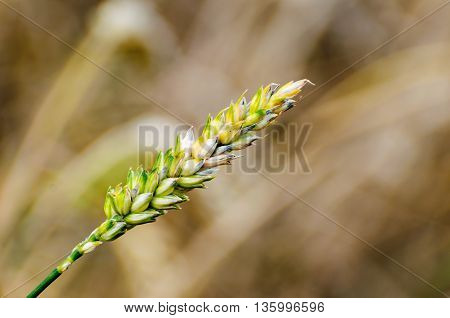 Closeup of one ripening wheat ear against the blurred background of a large field. It is a sunny day in the summer season.