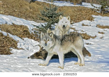 Gray Wolves On Deer Carcass