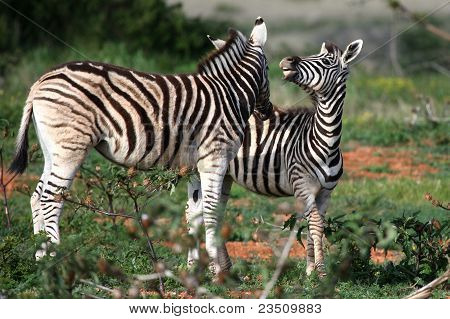 Young Wild Zebras