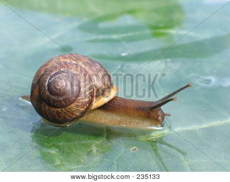 Snail On A Glass Surface