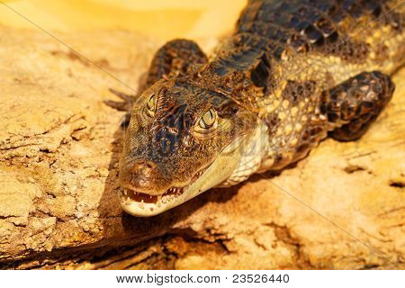The Crocodile Is On The Rocks, Traps Catch. Sharpness In Her Eyes, Blurring The Rest Of