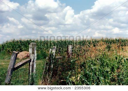 Indiana Corn Field