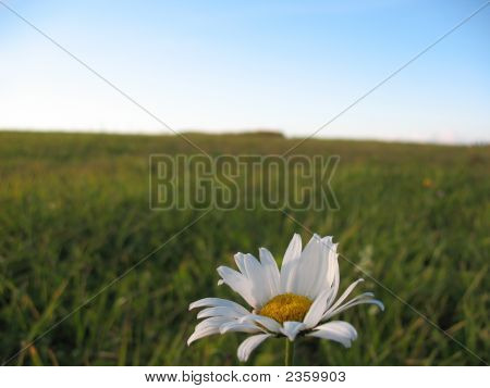Lonely Camomile On A Background Of A Field.