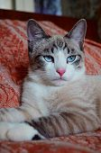 Gorgeous Cat In Lying In Regal Pose. Portrait Of Regal White And Tan Senior Cat, Laying On Bed With  poster