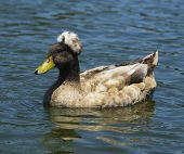 foto of crested duck  - Profile image of brown crested duck swimming - JPG