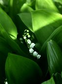 Lily Of The Valley Or May-lily. Natural White May-lily Background Blooming Lily Of The Valley On Gre poster