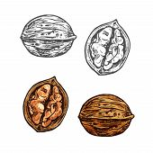 Walnut Fruit Sketch Of Whole Nut And Kernel. Opened Nutshell Of Walnut With Brown Nut Isolated Icon  poster