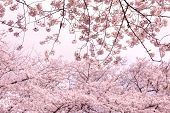 Cherry blossom treet tops and branches   at peak blossom season.  Impressional pastel pink tone, foc poster