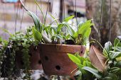 Potted Plants. Clay Pots Hang. Plants Are Large Leaves, In The Background There Is A Climbing Plant poster
