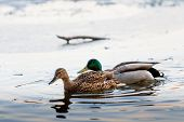 A Duckling Couple Is Swimming At The Edge Of A Melting Pond Ice In The Park In The Spring At Sunset  poster