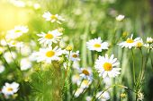 Camomile Flowers On Green Meadow In Summer. Background With Summer Grasses And Flowers On Field With poster