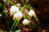Spring Snowflake Flowers Leucojum Vernum Blooming In Sunset poster