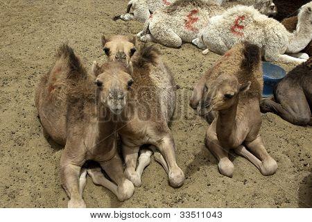 Camel foals
