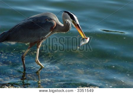 Heron Catching His Dinner