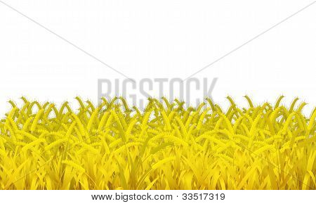 Wheat Is On White Background .